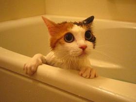 お風呂好きの猫_1.jpg