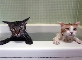 お風呂好きの猫_2.jpg